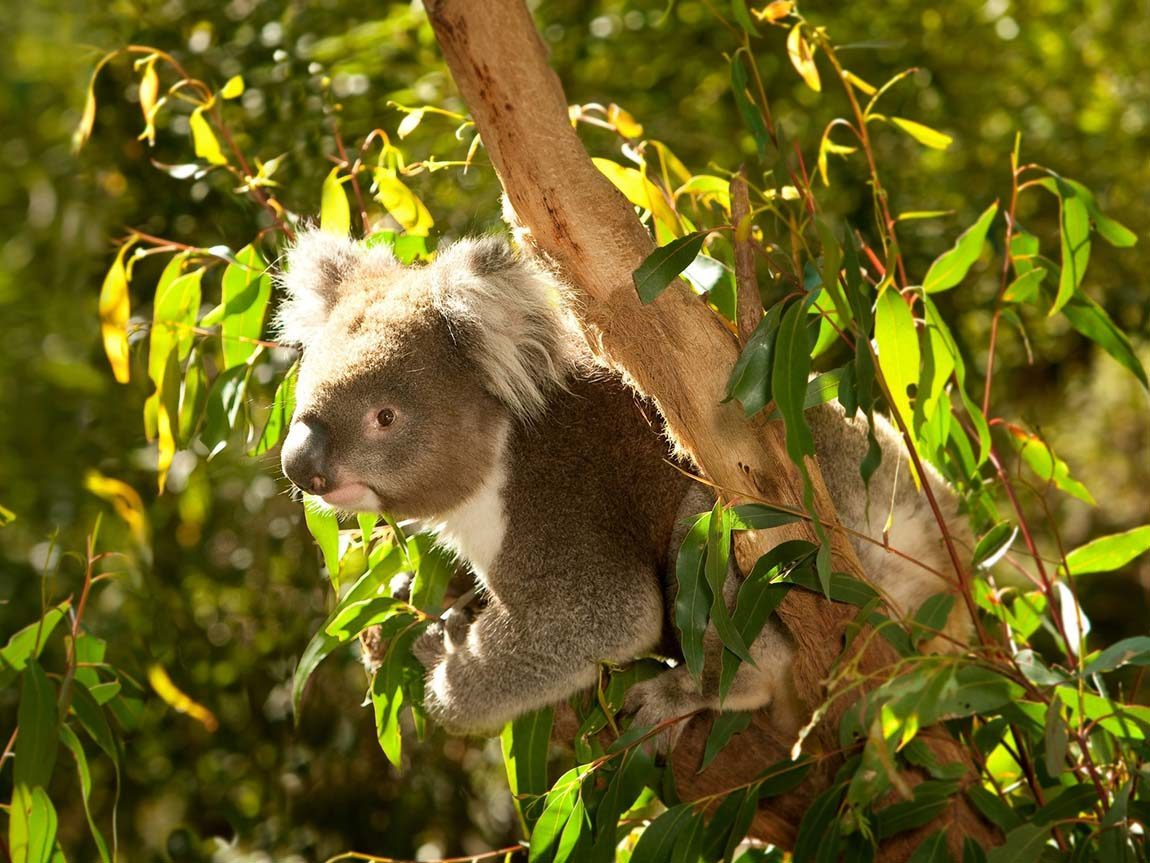 Koala at Healesville Sanctuary, Yarra Valley and Dandenong Ranges, Victoria, Australia